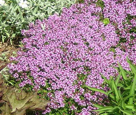 Bibit Benih Seeds Creeping Thyme For Ground Cover creeping thyme seeds thymus serpyllum