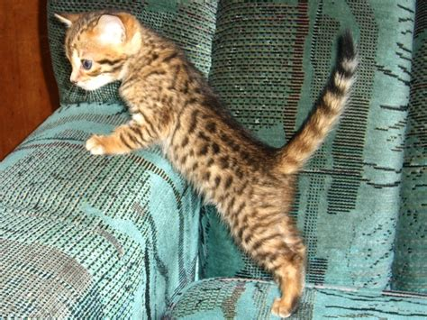 house cats that look like leopards leopard domestic cat looks like pictures to pin on pinterest pinsdaddy