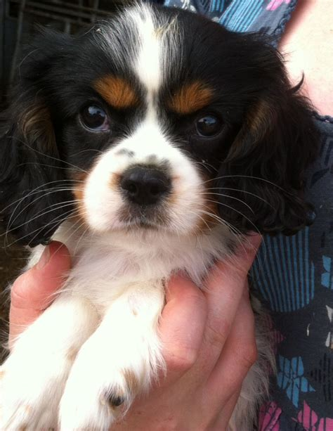king cavalier puppies for sale cavalier king charles puppies for sale llandeilo carmarthenshire pets4homes