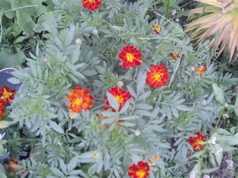 can you grow marigolds indoors 28 images how to grow marigolds from seed ebay how to grow