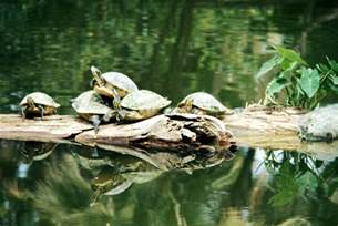 red eared slider turtle invasive species council of