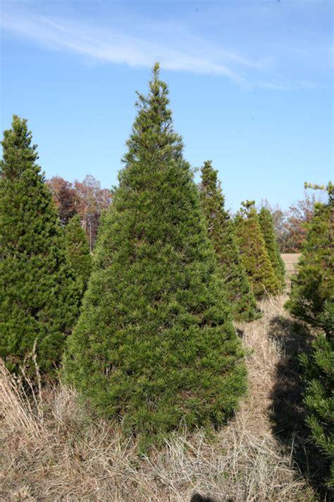 tree farm cory indiana virginia pine coniferous forest