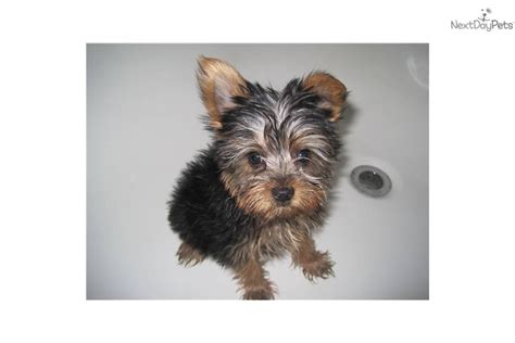 12 pound yorkie meet danna a terrier yorkie puppy for sale for 1 000 tiny teacup 1