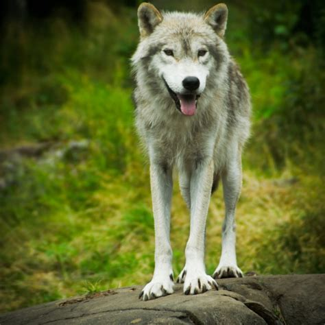 timber wolf puppies for sale timber wolf puppy timber wolf breed information