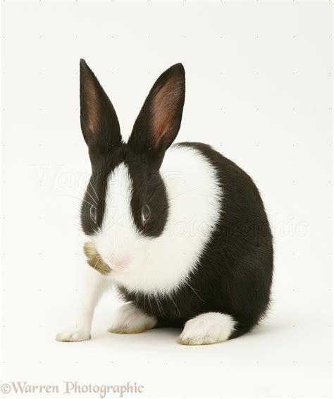 black  white rabbit photo wp