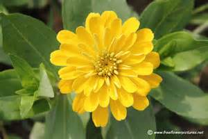zinnia flower yellow zinnia flower picture flower pictures 1732