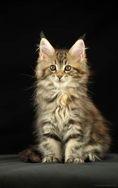 wallpaper hd kucing 1600x2560 anak kucing phablet wallpaper hd untuk mobile