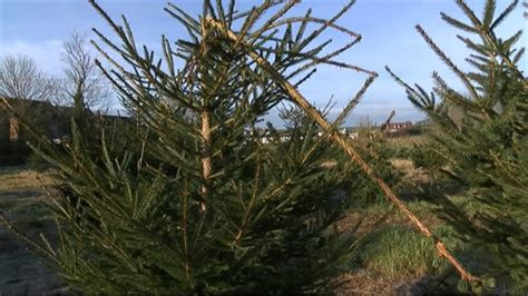 bbc news vandals destroy 1 000 christmas trees in dunnington