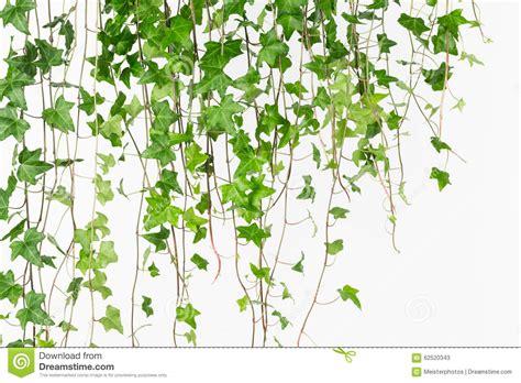 draping plants draping plants 28 images 1000 images about flowers