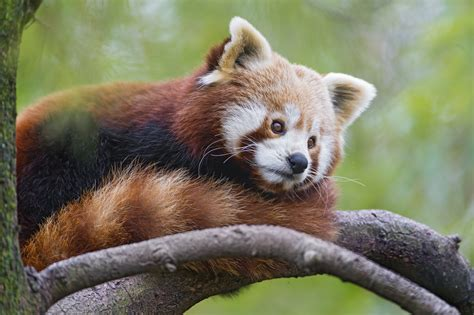 panda roux full hd fond decran  arriere plan