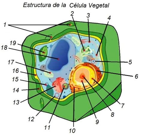 estructura de la clula eucariota c 232 l 183 lula vegetal interactiva thinglink