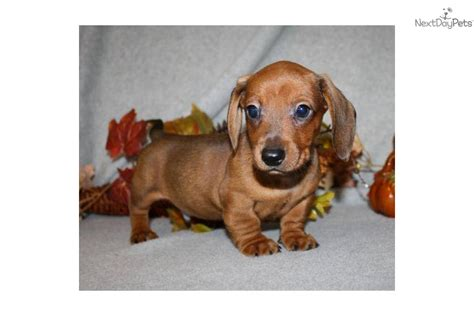 mini dachshund puppy rescue rescue dachshund puppy photo