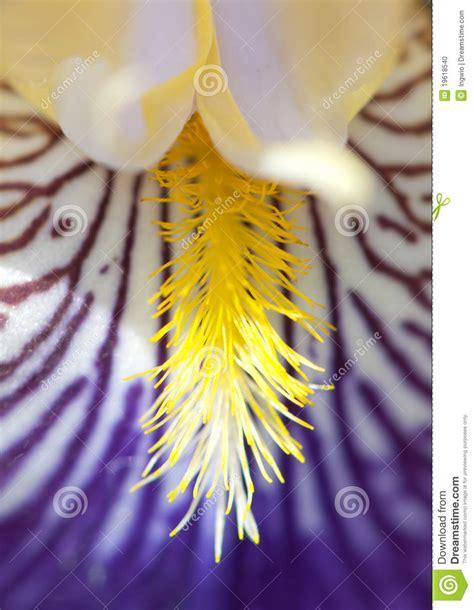 fiore di giaggiolo fiore giaggiolo particolare fotografia stock