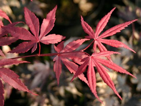 Roter Ahorn Schneiden 6885 by Roter F 228 Cher Ahorn Bloodgood Acer Palmatum Bloodgood