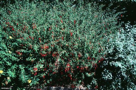 hardy fuchsia fuchsia magellanica hgtv