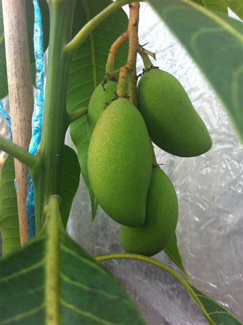 fruit trees melbourne forum tropical fruit trees successfuly grown in melbourne