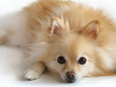 golden retriever pomeranian mix pomeranian history