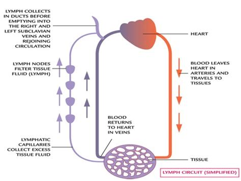 lymphatic drainage system diagram the lymphatic system diagrams function and immune