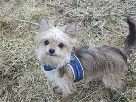 chihuahua mixed with yorkie terrier leo chihuahua terrier mischling mix