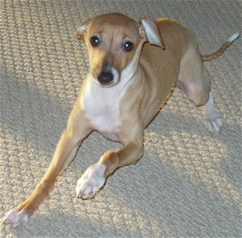 italian greyhound puppies price italian greyhound history personality appearance health and pictures