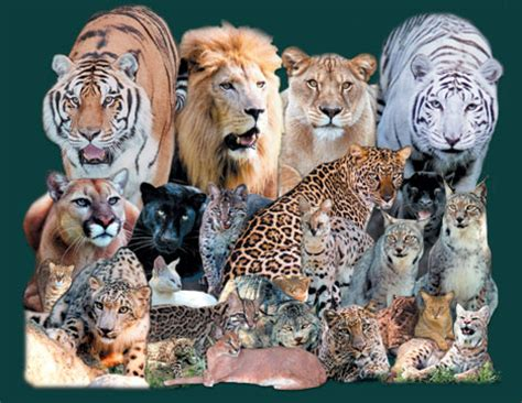big names cafechoo image all big cats names