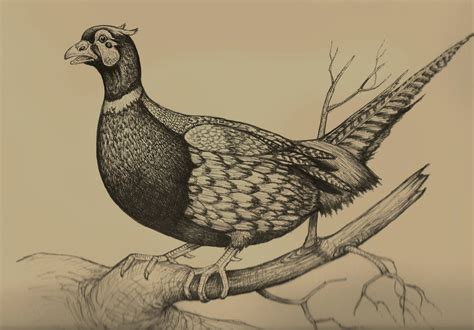 how to a pheasant how to draw pheasant
