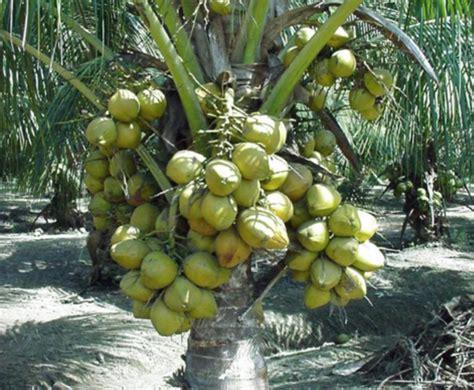 bibit kelapa genjah entok unggul dan cepat berbuah new
