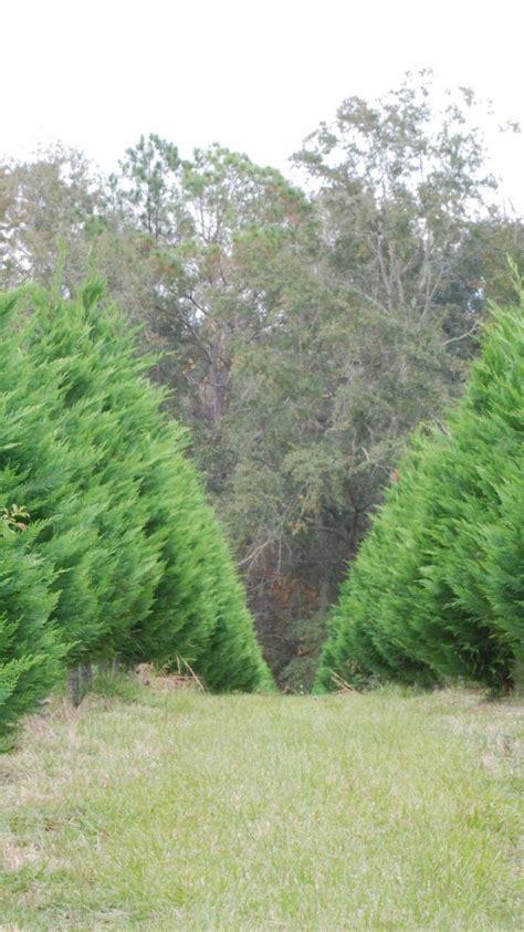 arizona cypress xmas tree iphone 6 wallpaper