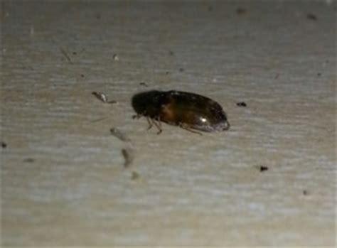 Exterminate Kitchen Bugs Tiny Black Bugs In The Kitchen Thriftyfun
