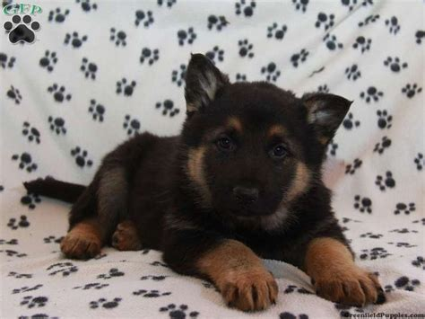 cheap german shepherd puppies for sale 1000 images about german shepherd on