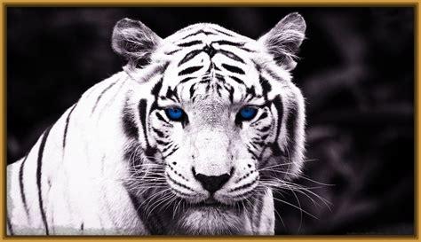 imagenes fondo de pantalla tigre sin categor 237 a archivos fotos de tigres