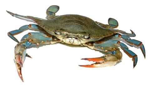 27 best images about blue crabs on pinterest crabs blue crab paint pinterest