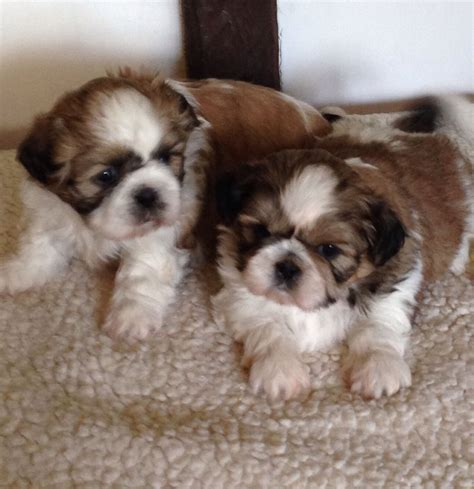 shih tzu for sale in kent shih tzu for sale canterbury kent pets4homes