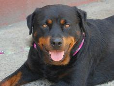 rottweiler rescue ga 1000 ideas about rottweiler rescue on staffordshire bull terrier rescue