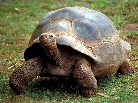 Galapagos Giant Tortoise-Endangered animals list-Our ...