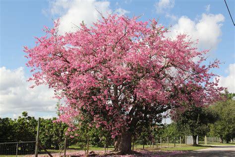 silk floss tree  seeds chorisia speciosa ebay