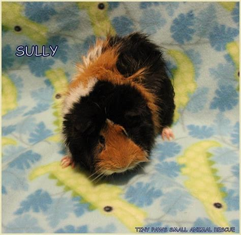 tiny paws small rescue meet mike and sully two bonded guinea pigs looking for a new home