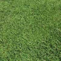 bermuda grass seed ebay
