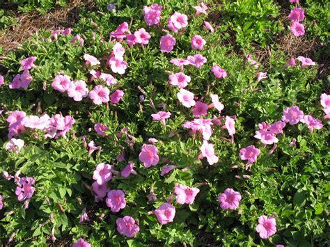 online plant guide petunia explorer pink explorer