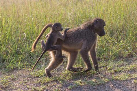 chacma baboon wildlife vagabond