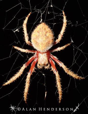 Garden Orb Weaver Spider by Garden Orb Weavers Minibeast Wildlife