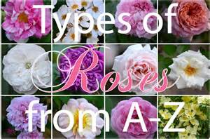 types of roses hedgerow rose