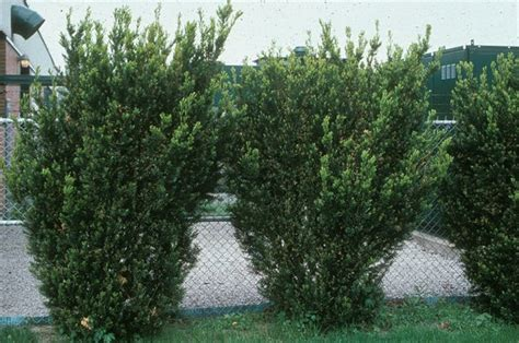 Taxus X Media Hicksii 2289 by Hicks Yew Hedge Images