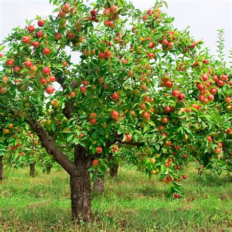 fruit trees apple tree with fruit harvest to table