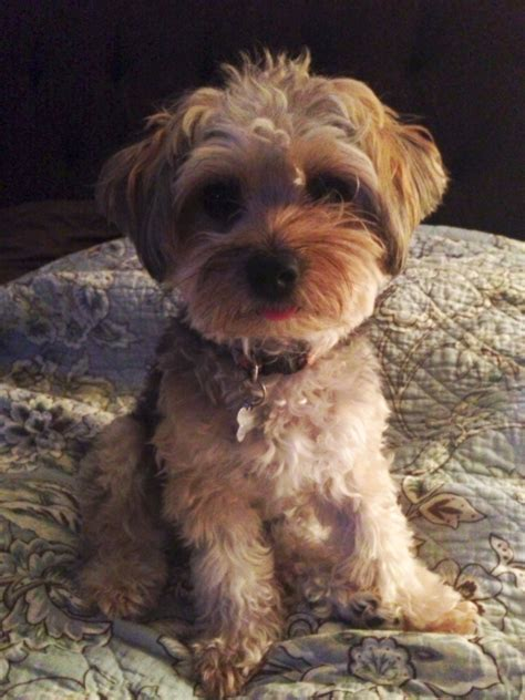 pictures of yorkie poo haircuts pin yorkie poo haircut styles on