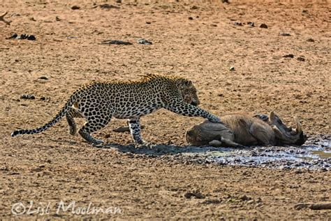 a warthog gets a rude awakening from a leopard africa
