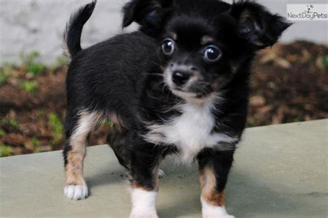 chihuahua puppies for sale in va chihuahua puppy for sale near richmond virginia f442a5f3 3651