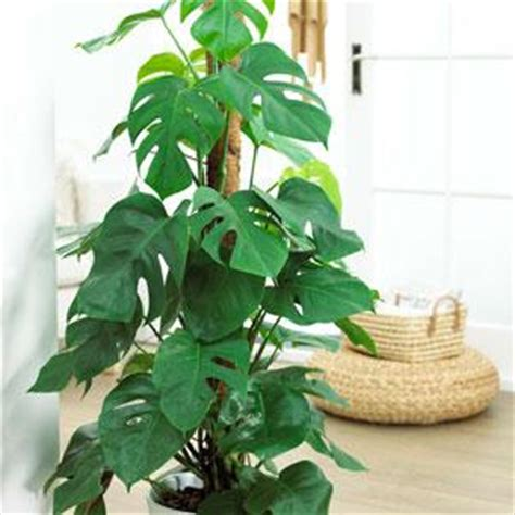 buy house plants online uk buy garden plants from online garden centre gardening express the uk s no 1