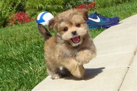 what size crate for shih tzu ten most important facts about the shih tzu yorkie mix the more reasons you would