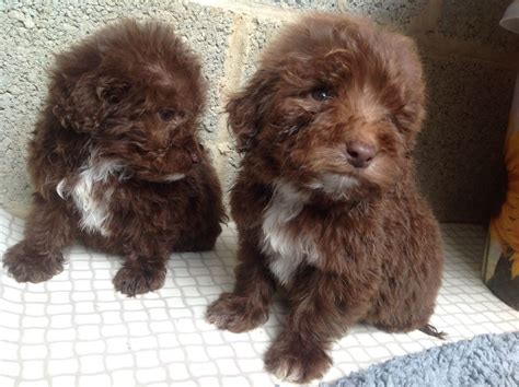 springerdoodle puppies for sale adorable springerdoodle puppies chippenham wiltshire